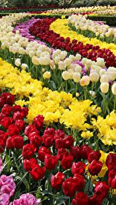 Фото Нидерланды Тюльпаны Много Парки Keukenhof Цветы