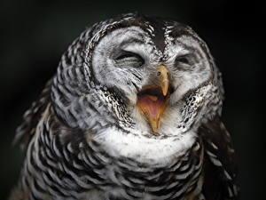 Фото Совообразные Птицы Смешные Черный фон Животные