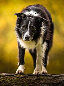 Картинки Собака Бордер-колли Смотрит животное