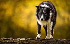 Картинки Собака Бордер-колли Смотрит