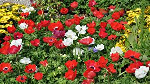 Картинка Ветреница Много Красный Цветы