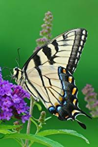 Картинки Бабочка Вблизи Papilio machaon Животные