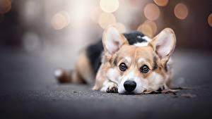 Фотографии Собака Вельш-корги Смотрит Боке Лежит Животные
