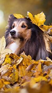 Обои Собаки Осенние Колли Листва Взгляд животное