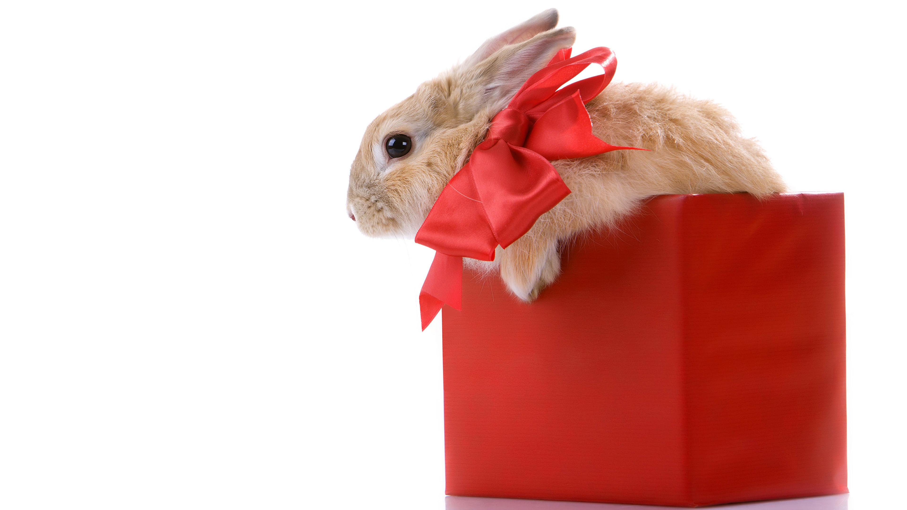 Картинки Кролики Коробка Бантик животное белом фоне 3840x2160 коробке коробки бант бантики Животные Белый фон белым фоном