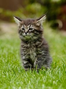 Картинка Кошка Траве Котята Размытый фон Сидит