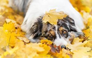 Фотографии Собака Осенние Смотрит Аусси Клёновый Листва животное