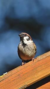 Фотография Птица Воробей Размытый фон животное