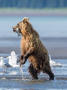 Картинка Медведи Гризли Рыбы Чайки Влажные Охотится животное