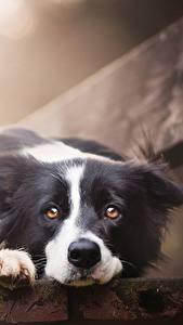 Картинки Собаки Бордер-колли Скамья Взгляд Миленькие Красивые Животные