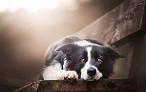 Картинки Собаки Бордер-колли Скамья Взгляд Миленькие Красивая Животные
