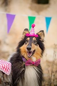 Картинка Собаки День рождения Колли Галстук-бабочка Счастливые