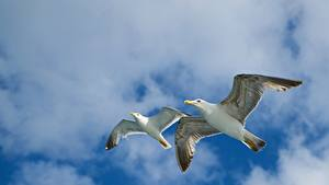 Картинки Небо Птицы Чайка Облака 2 Летящий Вид снизу Животные