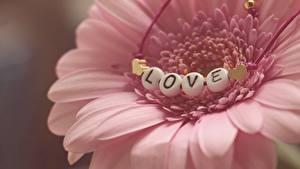 Картинка Герберы Любовь Вблизи Лепестки Розовый Цветы