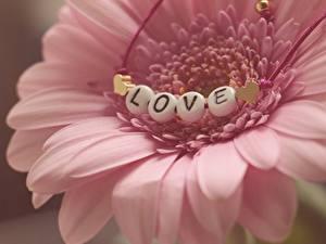 Картинка Герберы Любовь Вблизи Лепестков Розовые цветок