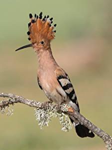 Картинка Птица Ветвь Смотрит Боке Eurasian hoopoe животное