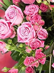 Обои Розы Розовый Цветы