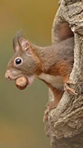 Картинка Белка Орехи Головы животное