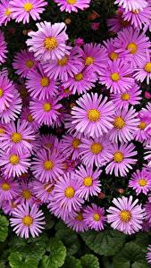Картинка Астры Много Вблизи Розовый Цветы