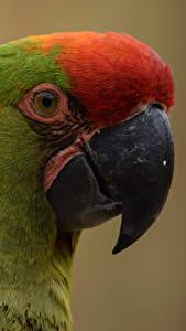 Картинка Птицы Попугаи Вблизи Клюв Головы Животные