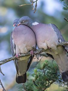 Картинка Голуби Любовь Ветки Вдвоем Животные