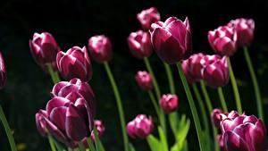 Картинка Тюльпаны Много На черном фоне Фиолетовый Цветы