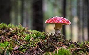 Картинки Мухомор Грибы природа Крупным планом Мох Природа