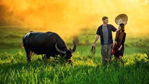 Фотографии Азиаты Бык Мужчины Траве Туман Рога Шляпа Девушки Животные