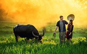 Фотографии Азиаты Быки Мужчины Траве Туман Рога Шляпа Девушки Животные