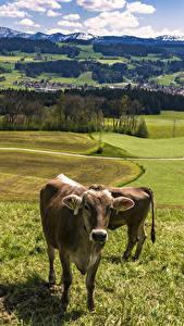 Картинка Германия Пейзаж Луга Корова Трава Allgaeu Природа Животные