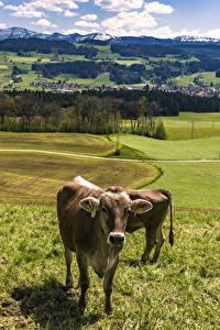 Картинка Германия Пейзаж Луга Корова Траве Allgaeu Природа Животные