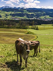 Картинка Германия Пейзаж Луга Коровы Траве Allgaeu Природа Животные