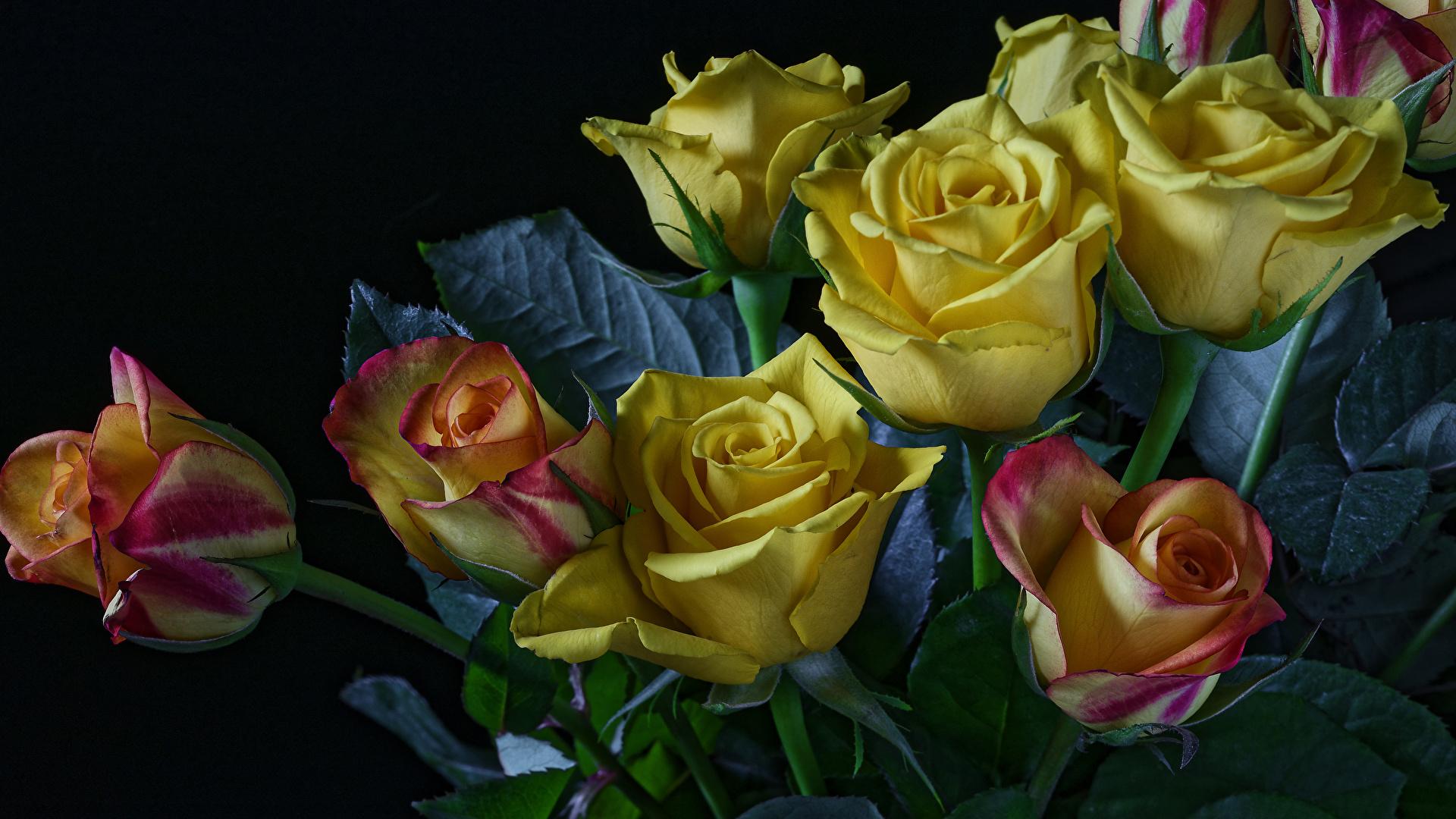 Обои Розы Желтый Цветы Черный фон 1920x1080 желтых желтые желтая на черном фоне