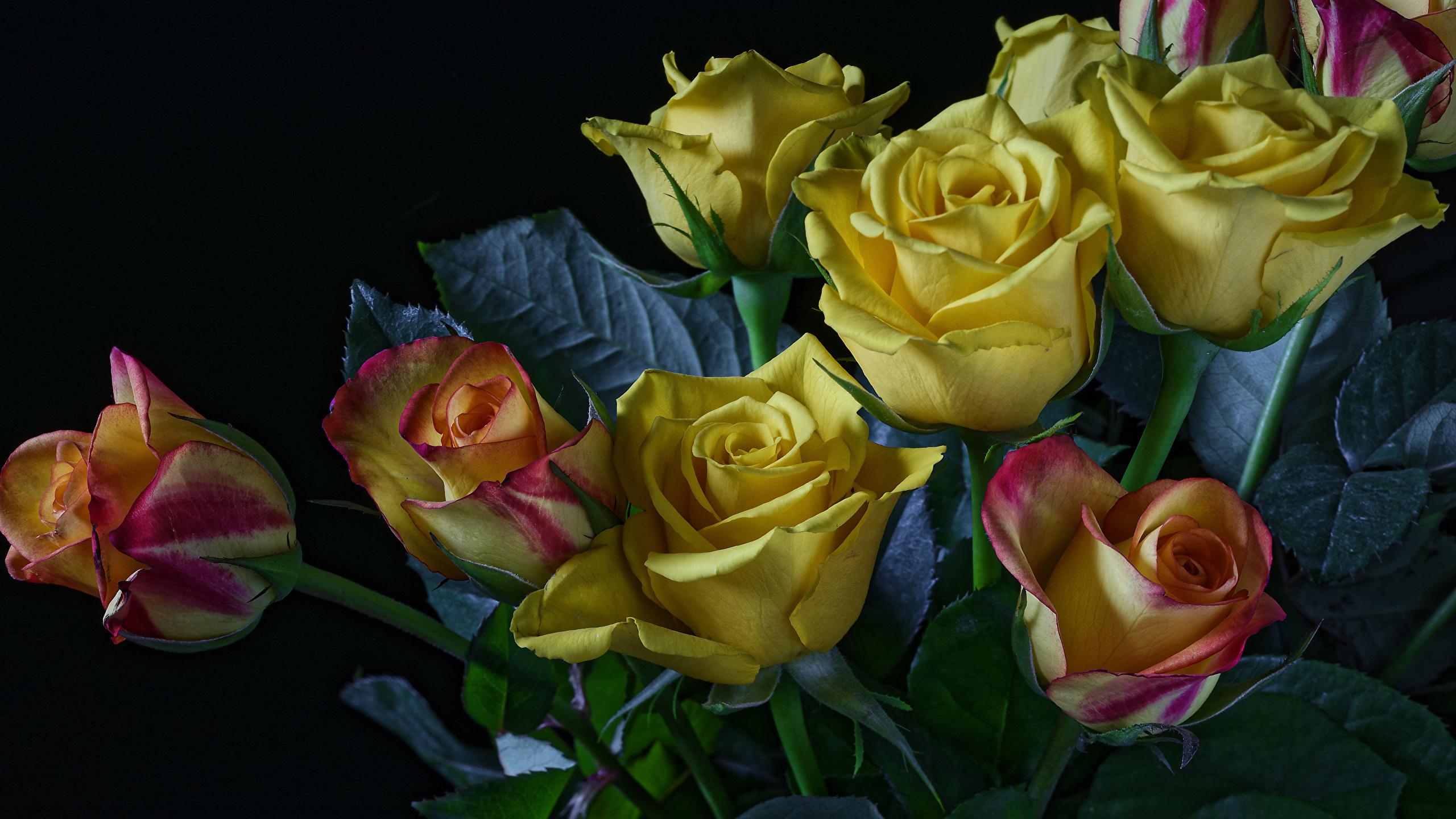 Обои для рабочего стола Розы Желтый Цветы Черный фон 2560x1440 роза желтых желтая желтые цветок на черном фоне