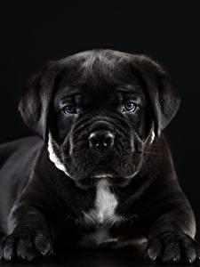 Фотографии Собаки Кане корсо Черный Черный фон Животные