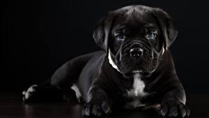 Фотографии Собаки Кане корсо Черная Черный фон животное