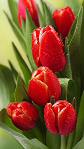 Фото Тюльпаны Красный Капли Цветы