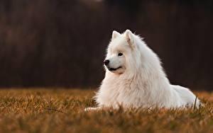 Фото Собаки Белых Самоедская собака