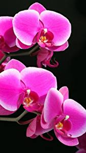 Обои Орхидеи Крупным планом Черный фон Цветы