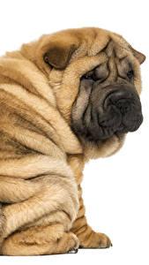 Картинка Собака Крупным планом Белый фон Шарпей Сидит животное