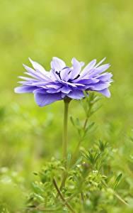 Картинка Анемоны Фиолетовый Размытый фон цветок