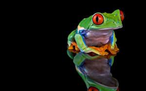 Обои для рабочего стола Лягушки Отражении На черном фоне red-eyed tree frog животное