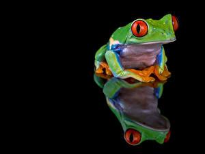 Картинки Лягушки Отражение Черный фон red-eyed tree frog Животные