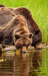 Картинки Медведь Гризли Пьет воду 2 животное