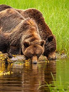 Обои для рабочего стола Медведь Гризли Пьет воду 2 животное