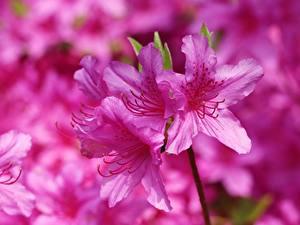 Картинки Вблизи Розовых Rhododendron (Azalea) Цветы