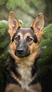 Обои Собаки Немецкая овчарка Животные