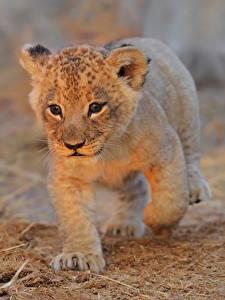 Обои Львы Детеныши Смотрит Животные
