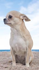 Картинки Собаки Чихуахуа Сидящие Песок Смотрит