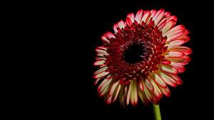 Картинки Герберы Вблизи Черный фон цветок